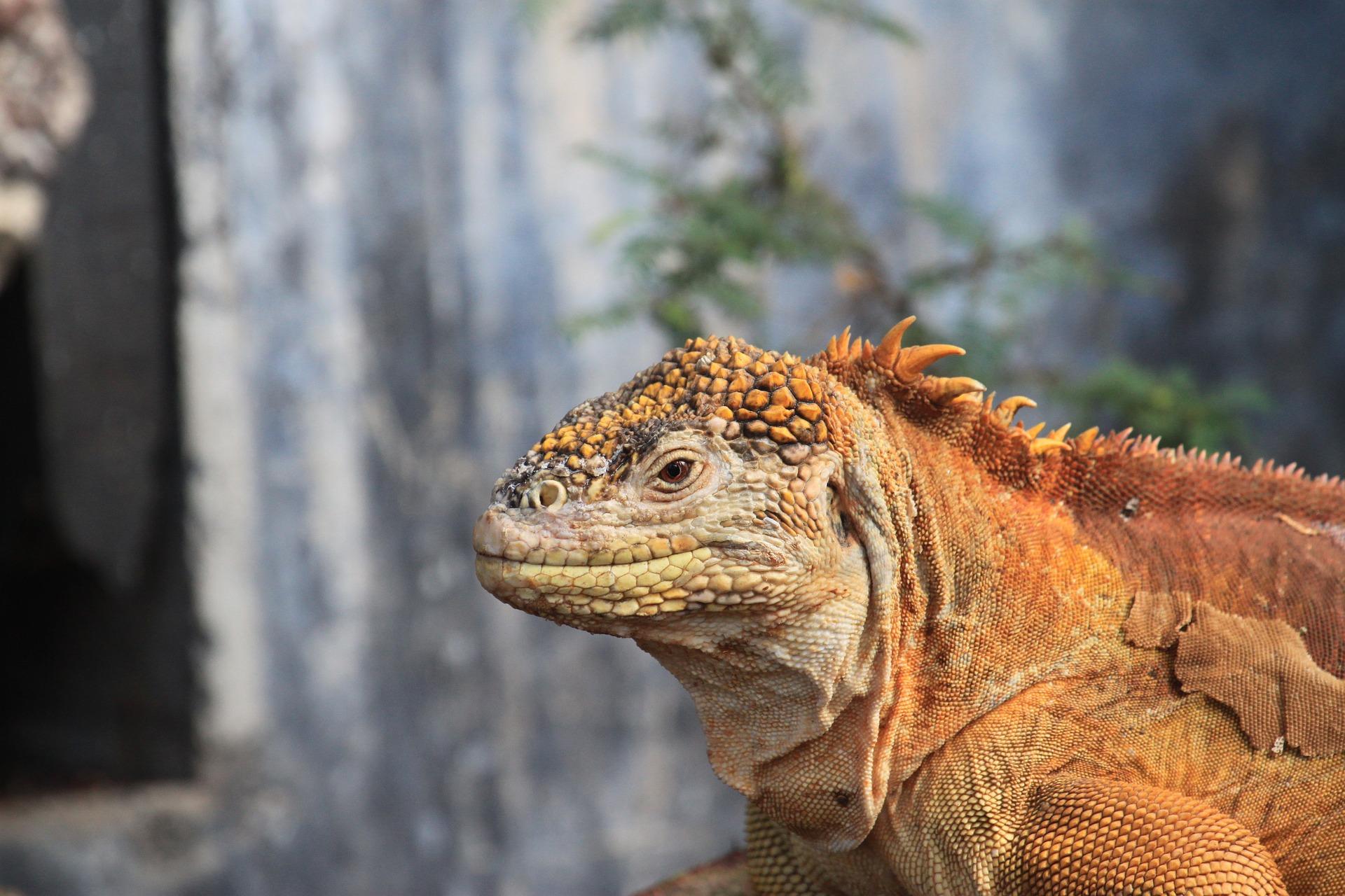 land-iguana-894478_1920
